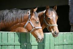Headshot von zwei vollblütigen Pferden Lizenzfreies Stockbild