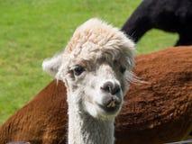 Headshot of white alpaca Royalty Free Stock Photography