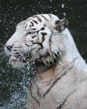 Headshot of white Tiger playing with water Royalty Free Stock Images