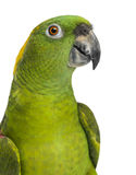 Headshot of a Yellow-naped parrot (6 years old) Royalty Free Stock Images
