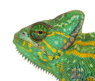 Headshot of a Yemen chameleon - Chamaeleo calyptratus - isolated Stock Image