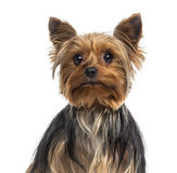 Headshot of a Yorkshire Terrier Stock Photo