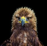 Head shot of young Golden Eagle against a black background. Headshot of a young Golden Eagle against a black background staring straight at you Royalty Free Stock Photography