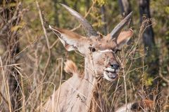 Headshot of a young Kudu bull in the bushes Royalty Free Stock Photo