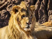 Regal Lion Headshot stock photos