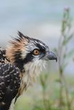 Headshot of a Young Osprey Royalty Free Stock Image