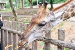 Headshotgiraff i zoo Royaltyfria Bilder