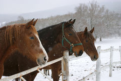 Headshots of chestnut horses in a frosty day stock images