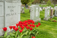 Headstones in a cemetary with red tulips Royalty Free Stock Images