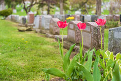 Headstones in a cemetary. With three red tulips stock photos