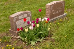 Headstones in a cemetery. With many tulips royalty free stock photos
