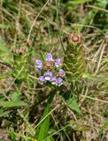 """`Heal-All` - Prunella vulgaris. """"Heal-All"""" is a common plant that is found worldwide. """"Heal-All"""" is also known as Self-Heal and Cure-All royalty free stock photography"""