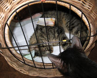 Heal cat lying in the box Royalty Free Stock Photography