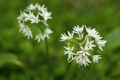 Healing Allium ursinum Stock Photo