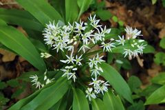 Healing Allium ursinum Royalty Free Stock Images