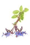 Healing blue Borage Stock Images