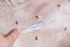 Healing dog after surgery. Putting cream on dog scar Stock Photos