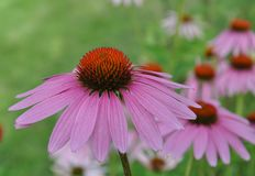 Healing Echinacea plant in the garden . Echinacea flower at summer evening, Relaxing atmosphere. Royalty Free Stock Images
