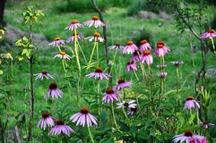 Healing Echinacea plant in the garden at sunset. Stock Photo