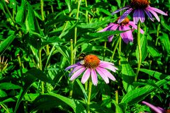 Healing flowers Echinacea by the countryside and bumblebee. Royalty Free Stock Image