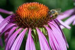 Healing flowers Echinacea and honey bee royalty free stock photos