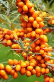 Healing fruit Hippophae rhamnoides Stock Photos