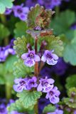 Healing Glechoma hederacea. In blossom Stock Photography