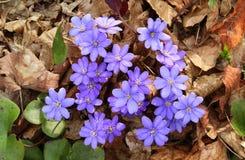 Healing Hepatica nobilis blooming Royalty Free Stock Images