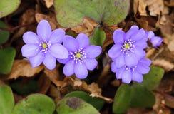 Healing Hepatica nobilis Stock Photography