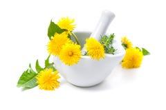 Healing herbs. Dandelion Stock Photo