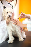 Healing Maltese dog with injection in vet ambulant. Healing sick Maltese dog with injection by veterinarians in vet ambulant Stock Image