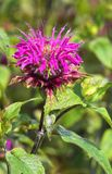 Healing Monarda didyma Stock Photo