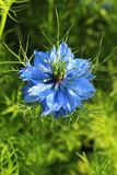 Healing Nigella damascena Stock Images