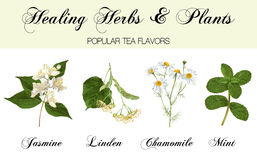 Healing plants set. Vector realistic detailed healing herbs and plants set on white. Design for cosmetics, herbal tea, homeopathy, natural and organic health stock illustration