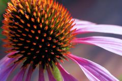 The healing power of nature. Blossom of an echinacea purpurea-flower Stock Images