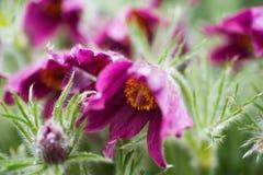 Healing purple pulsatilla flower. Toxic but healing blossoming purple pulsatilla flower in bunch Stock Photos