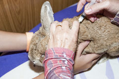 Healing the rabbit stock photography