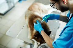 Healing sick dog Royalty Free Stock Image