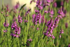 Healing Stachys officinalis Royalty Free Stock Photography