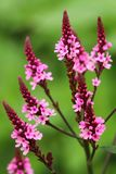 Healing Verbena officinalis Royalty Free Stock Images