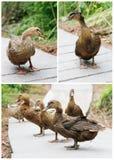 Health Ducks Stock Photos