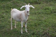 Health goat in the farm. Royalty Free Stock Photos