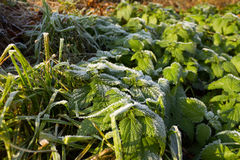 Health, Urtica dioica, often called common nettle or stinging nettle stock image