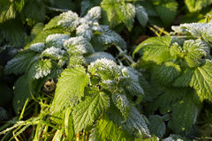 Health, Urtica dioica, often called common nettle or stinging nettle royalty free stock images