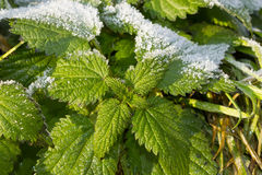 Health, Urtica dioica, often called common nettle or stinging nettle royalty free stock photos