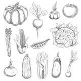 Healthful fresh vegetables engraving sketches. Healthful locally grown fresh corn cob, tomato, sweet peas, garlic, eggplant, pumpkin, zucchini, beetroot, onion Stock Photos