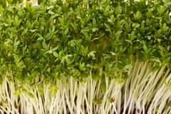 Healthful garden cress Royalty Free Stock Images