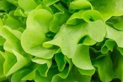 Healthful ljust - grön grönsallat som används som en bakgrund Organiskt, rått, nytt och smakligt begrepp Sund livsstil royaltyfri foto