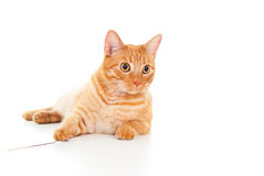 Healthy adult red cat Royalty Free Stock Photo