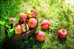 Healthy apples in garden Royalty Free Stock Photo